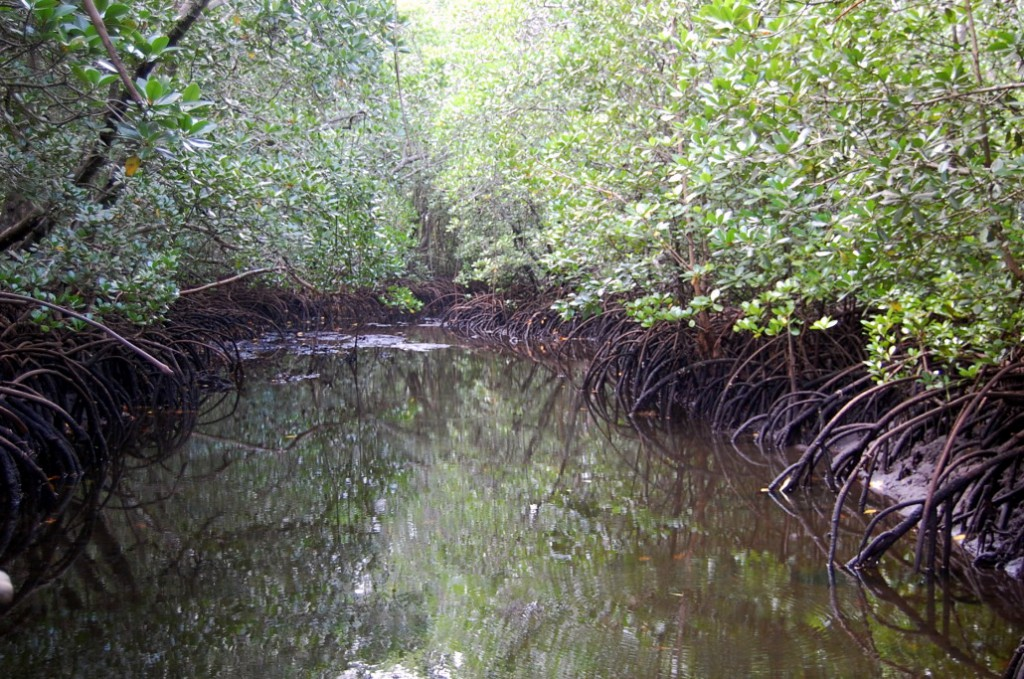 Padure de mangrove