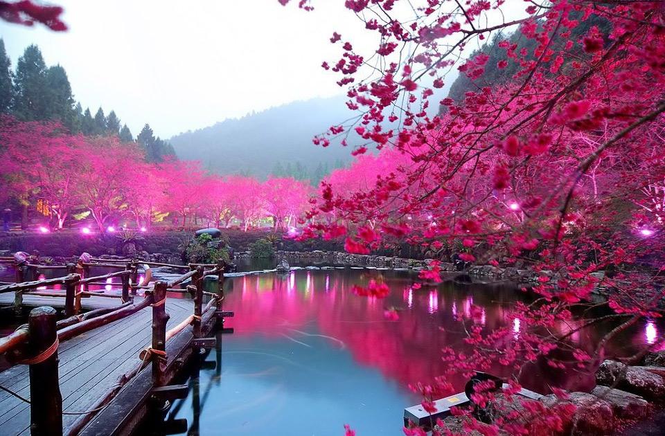 Sărbătoarea florilor de cireș (sursa: sakuraspins.wordpress.com)