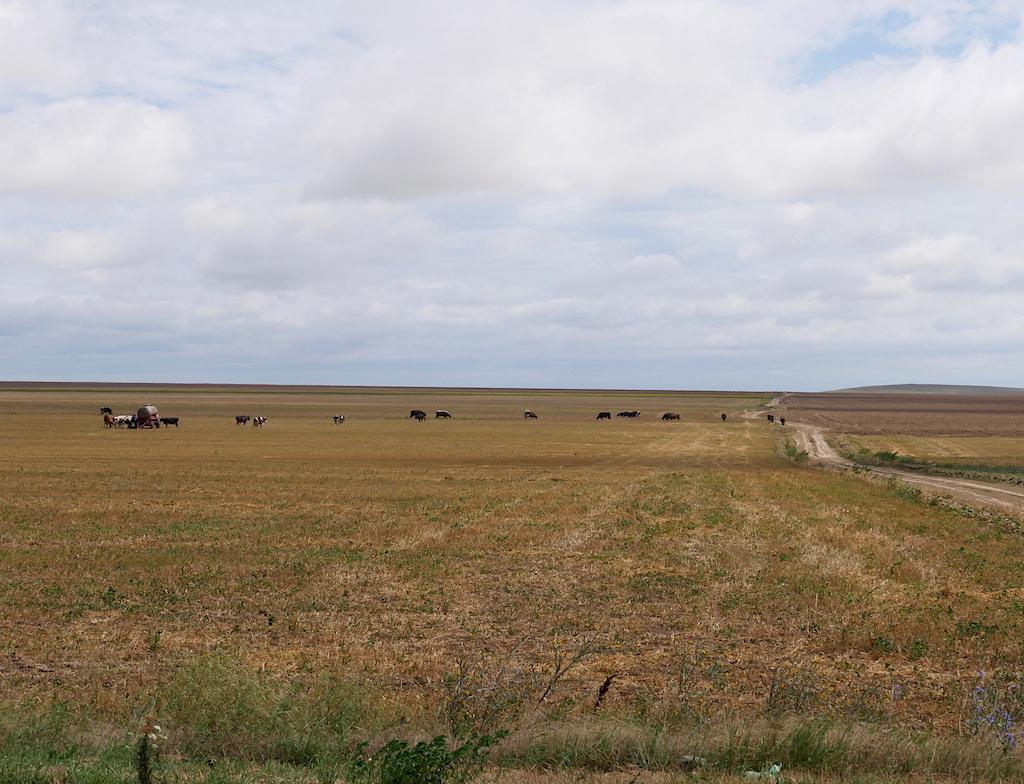 camp cu vaci