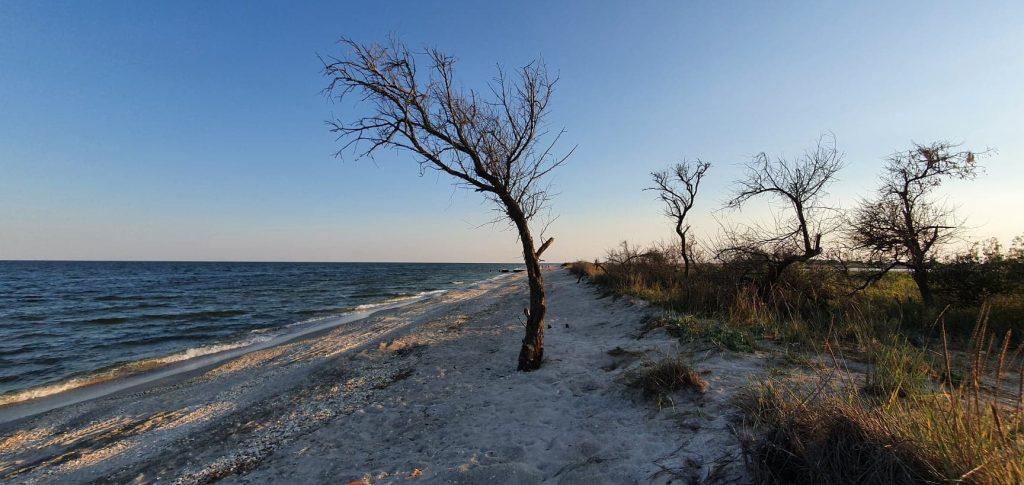 Copac pe plajă la Gura Portiței