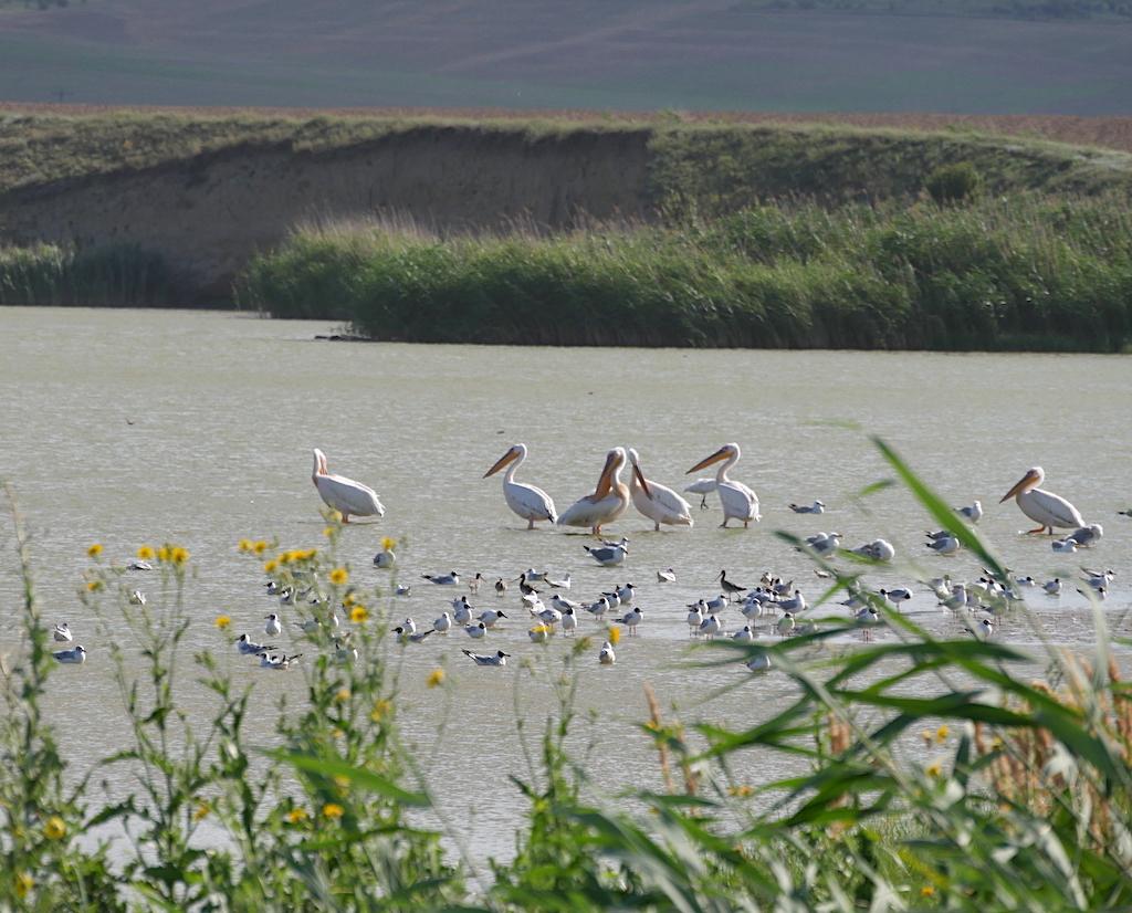 pelicani pe lacul babadag