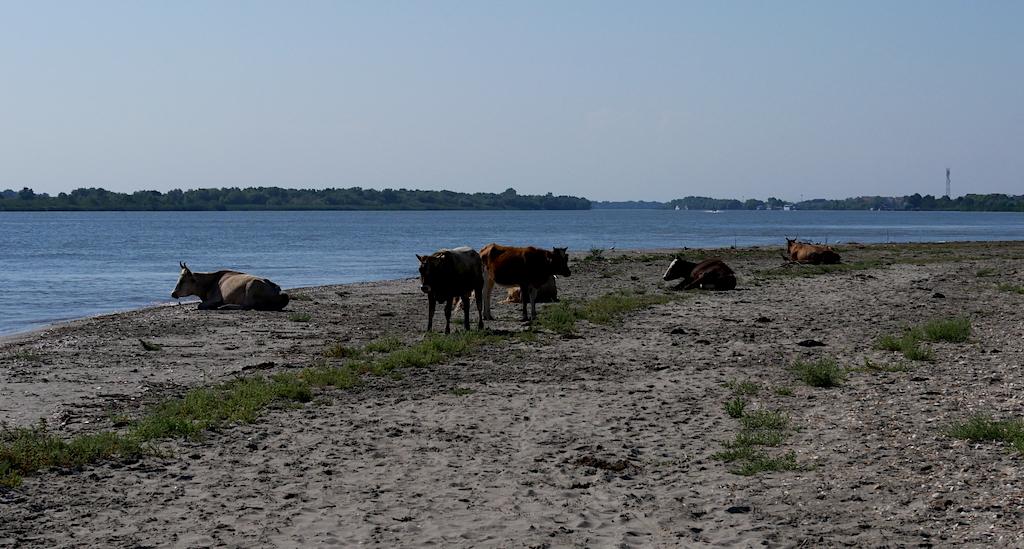 vaci pe malul Dunării