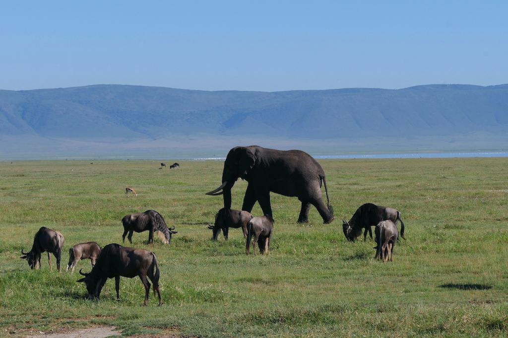 Un elefant și mai mulți gnu