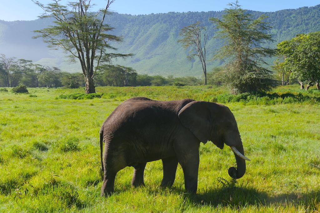 un elefant pe canp printre copaci și munți verzi pe fundal