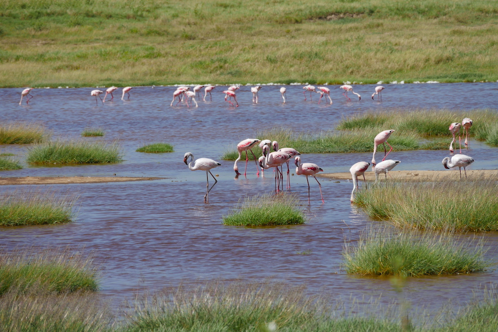 Păsări flamingo pe apă