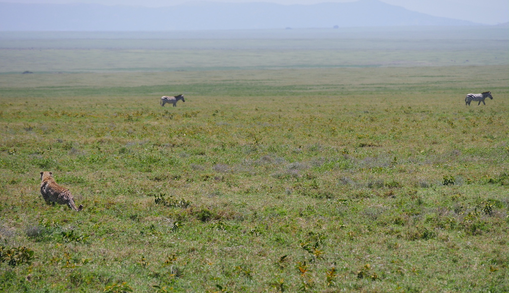 Un ghepard urmărește două zebre