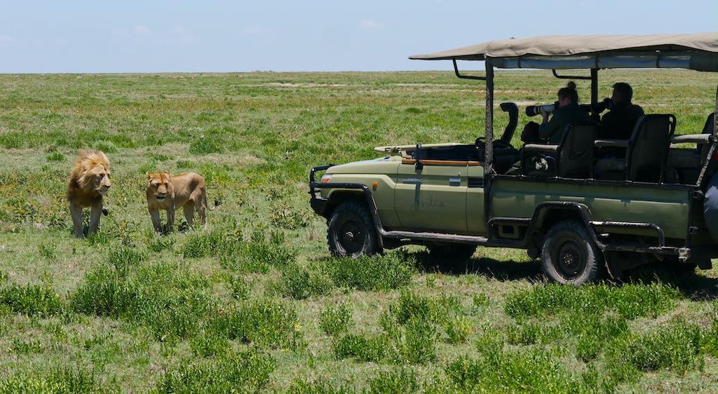Doi lei stau în fața unei mașini de safari unde sunt fotografiați de turiști