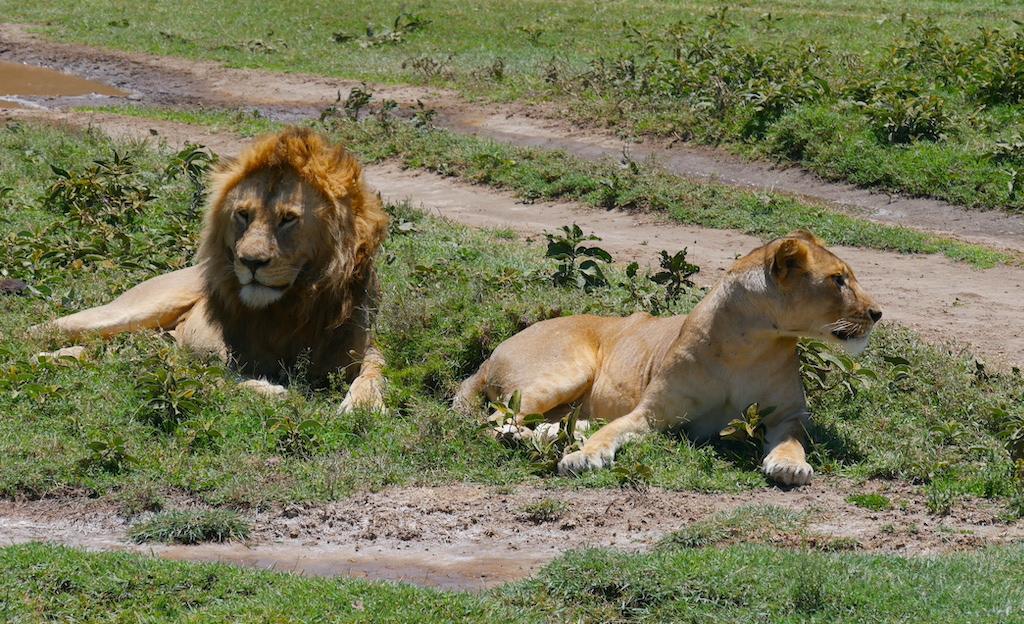 Doi lei lenevesc pe iarbă