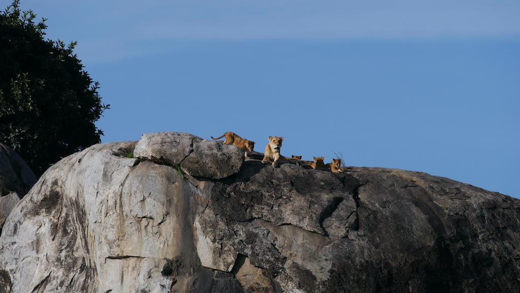 O familie de lei stă pe o stâncă