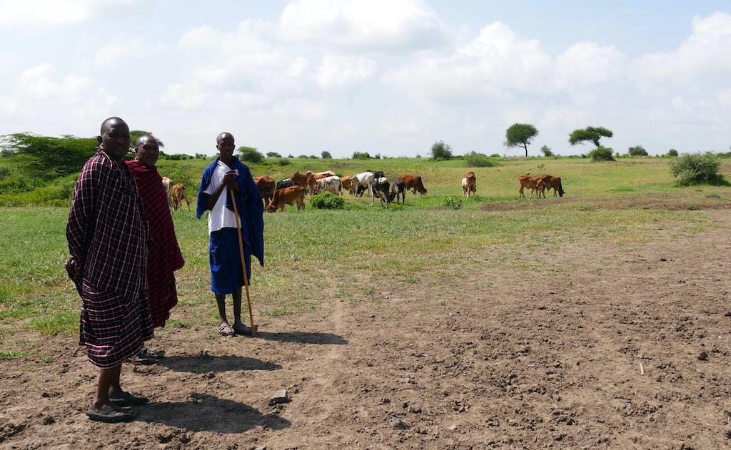 Trei bărbați în haine de masai păzesc vitele