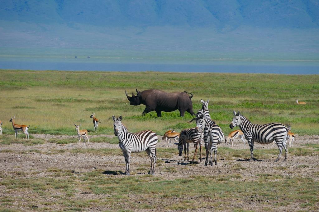 Un rinocer merge printre zebre pe un cîmp verde pe un fundal albastru