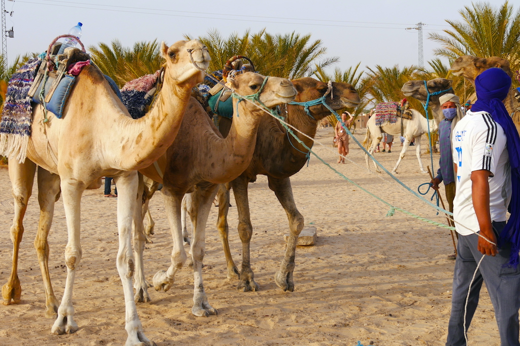 cămile, berberi, deșert, palmieri